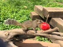 Eichhörnchen im Eichhörnchenpark Machida